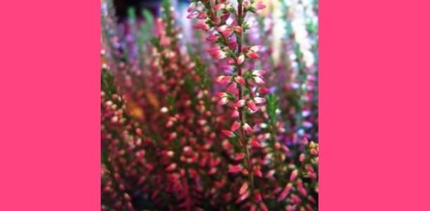 Funda Yaprağı - Süpürge Otunun Faydaları - Yararları Nelerdir?