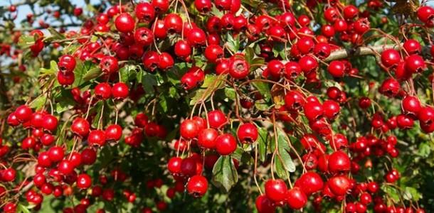 Alıç Meyvesinin Faydaları - Yararları Nelerdir?